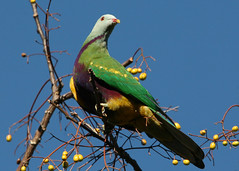 Wompoo Fruit-Dove (Greg Miles) Tags: australia queensland wompoofruitdove ptilinopusmagnificus crediton avianexcellence