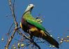 Wompoo Fruit-Dove (Greg Miles) Tags: australia queensland wompoofruitdove ptilinopusmagnificus crediton avianexcellence