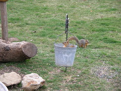 Squirrelly3 (boisebluebird) Tags: pets animals fun backyard squirrel squirrels boise critters rodents michaeltoolson boisebluebird boisebluebirdcom httpwwwboisebluebirdcom boiselandscaping boisegardener