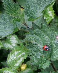 1st Ladybird of the Year