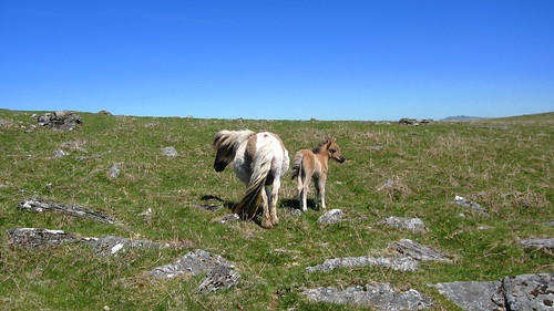 Pair of Dartmoor Ponies (Dartmoor)