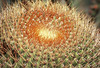Barrel cactus by kevindooley