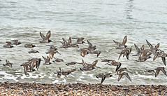 Fly past! (larigan.) Tags: uk sea england beach birds unitedkingdom flock flight shingle pebbles bexhillonsea ringedplover charadriushiaticula coastuk larigan phamilton welcomeuk