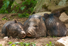 Shhhh.... They  are asleep (***roham***) Tags: wild nature animal zoo pig nikon sleep d200 asleep boar greatervancouverzoo nikond200 wildphotography 400mmf35aisii nikon400mmf35ais