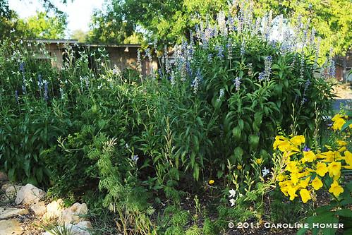 White 'Autumn Sage', 'Mealy Blue Sage', esperanza