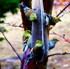 American Goldfinches Feeding (mightyquinninwky) Tags: cold bird leaves rain birds fauna rural geotagged flora dof feeding bokeh kentucky goldfinch aves depthoffield evergreen finch ave raindrops males bleak limbs waterdrops picnik smalltown floraandfauna orton freezingrain birdwatcher goldfinches flocking redbudtree westernkentucky thistleseed unioncountykentucky ohiorivervalley avianphotography ruralkentucky morganfieldkentucky geo:lat=3769316 seedsock thebluegrassstate geo:lon=87905543 graywinterday thecommonwealthofkentucky nativekentuckyflora coldrainywinterday smalltownkentucky nativekentuckyfauna ameciangoldfinch midamercia maleamericangoldfinches