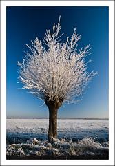 Iced Willow (Explore!) (Focusje (tammostrijker.photodeck.com)) Tags: winter snow holland ice nature netherlands vertical landscape one frost sneeuw nederland willow polarizer 2008 2009 wilg zuidholland vorst rijp ultimateshot winter20082009