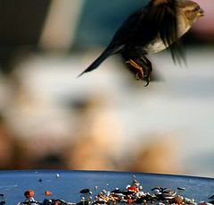 Flying Out of Frame... (mightyquinninwky) Tags: bird fruit geotagged flying inflight wings backyard birdseed dof bokeh kentucky beak feathers nuts seed depthoffield sparrow ave backyardbird inmotion westernkentucky fieldsparrow flyingaway birdfeed unioncountykentucky glasstabletop backyardnature backyardfauna avianphotography morganfieldkentucky geo:lat=37693177 geo:lon=87905533 thecommonwealthofkentucky nativekentuckyfauna thebluegrass nativekentuckybird