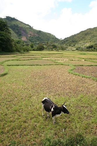 zebu in pasture