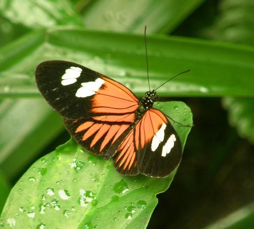 Mindo, mariposa 8