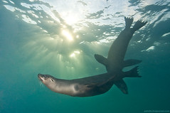 visiones de galpagos #12 (pats0n) Tags: ecuador pinnipeds galapagosislands galapagossealions