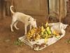 Preuve incontestable (lasab8) Tags: dog chien yellow jaune banana banane animaux insolite petiteshistoiressansparoles