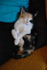 Peanut (testpatern) Tags: old cats baby cute cat kitten feline babies adorable kittens week felines weeks six