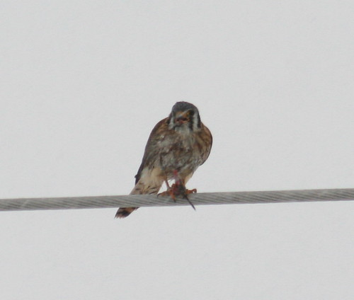 kestrel with mouse in snow storm