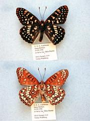 NW14-4 Euphydryas chalcedona (nymsysgro) Tags: unitedstatesofamerica euphydryas nymphalidae nymphalinae chalcedona melitaeini euphydryina