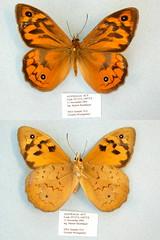 Heteronympha merope