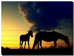 Cavalos na contra-luz (se.shira) Tags: sunset pordosol horses clouds fence contraluz silhouettes nuvens cavalos cerca motherandson égua arame silhuetas anoitecendo pastando maeefilho potrinho cosmorama poldro