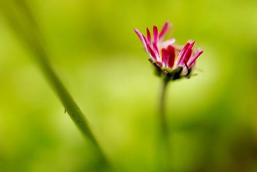 阿里山的野菊