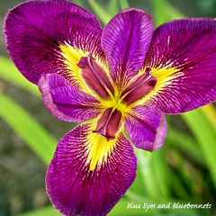 Iris | Shangri La Gardens (Blue Eyes and Bluebonnets) Tags: flowers iris orange flower texas shangrila shangrilagardens blueeyesandbluebonnetscom