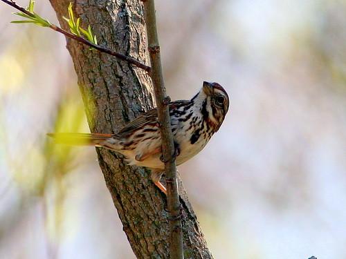 Song Sparrow20090424