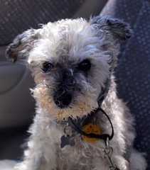 Vale Phoebe (di off the wallaby) Tags: phoebe feisty miniatureschnauzer