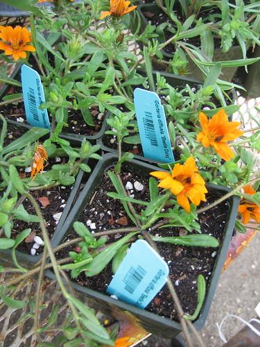 """Gorteria diffusia """"Beetle Daisy"""""""