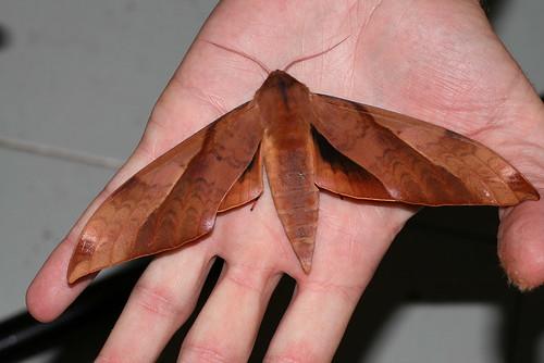 Clanis undulosa gigantea