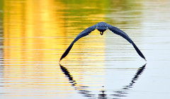 Crossing Wilde Lake At Sunset (ozoni11) Tags: sunset heron nature animal animals interestingness nikon 33 explore greatblueheron herons columbiamaryland d300 greatblueherons wildelake interestingness33 i500 explore33 michaeloberman ozoni11