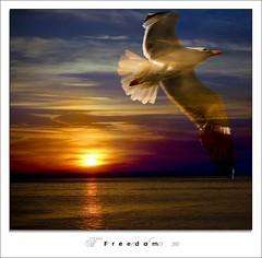 Freedom (Daniele Cherenti | DCphotography) Tags: tramonto mare sole rosso gabbiano libert composizione cs3 volare nikond80 nikon70300mmvr dcphotography wwwdanielecherentiit fotografoportoscuso