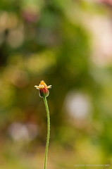 - ISOLATION - (nate@82 (sorry - still very busy)) Tags: plant flower alone dof bokeh isolation wildflowers isolated lonesome ef50mmf18 explored bokehlicious canoneos40d