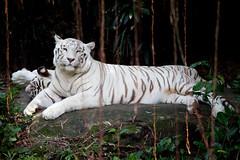 IMG_1313 (Marc Aurel) Tags: zoo singapore tiger tigre singapur whitetiger zoologischergarten singaporezoo bengaltiger pantheratigris zoologicalgarden knigstiger pantheratigristigris royalbengaltiger pantheratigrisbengalensis weisertiger 5dmarkii eos5dmarkii indischertiger tigrebiancha