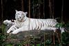 IMG_1313 (Marc Aurel) Tags: zoo singapore tiger tigre singapur whitetiger zoologischergarten singaporezoo bengaltiger pantheratigris zoologicalgarden königstiger pantheratigristigris royalbengaltiger pantheratigrisbengalensis weisertiger 5dmarkii eos5dmarkii indischertiger tigrebiancha