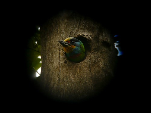 Digiscoped Muller's Barbet (Megalaima nuchalis) - 五色鳥