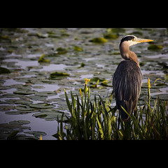 great blue. (kvdl) Tags: morning heron dawn may greatblueheron burnabylake avianexcellence decluttr kvdl