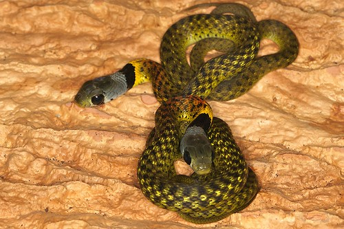 Red-necked Keelback