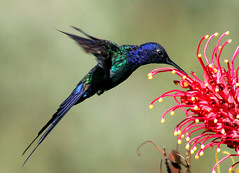 Beija-flor Tesoura - Swallow-tailed Hummingbird (Eupetomena macroura) (claudio.marcio2) Tags: fab bird nature wildlife natureza pssaro aves inspire birdwatching soe breathtaking oiseaux wonderfulnature naturesfinest blueribbonwinner thegoldengallery supershot birdsbirdsbirds wingedwonders natureplus mywinners worldbest shieldofexcellence anawesomeshot impressedbeauty nationalgeographicareyougoodenough diamondclassphotographer photosandcalendar farandawaythebest citritgroup theunforgettablepictures photostosmileabout eperkeaward brilliant~eye~jewels naturewatcher concordians theworldsbestnaturewildlifeandmacrophotography betterthangood everydayissunday theperfectphotographer theunforgettablepicturegroup avianphotograph natureislovely dragongoldaward natureselegantshots spiritofphotography birdsinsideandoutside atravsdaminhalentethroughmylens feathersbeaksbirds salveanatureza theenchantedcarousel damniwishidtakenthat allthosebirds screamofthephotographer worldnaturewildlifecloseup planetaterraeseusanimaisincrveis vosplusbellesphotos thewonderfulworldofbirds naturegreenstar naturescreations ~newenvyofflickr~ dragonflyawardsgroup