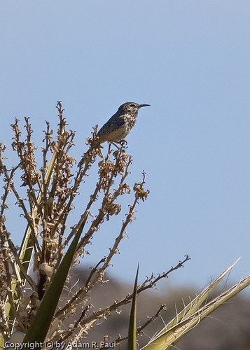Cactus Wren by you.