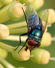 IMG_2987 (c)CAROLYNPEPPER_greenbottleflyHCP copy by carolynpepper (Carolyn Pepper), on Flickr