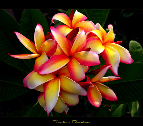Images Of Hawaiian Flowers. Hawaiian Flowers - The