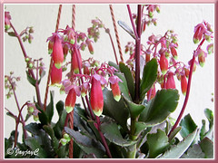 Showy bell-shaped flowers of Kalanchoe 'Wendy', a recent addition to our garden!