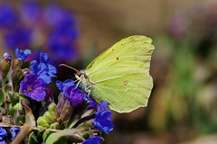 Gonepteryx rhamni (ressaure) Tags: flower nature butterfly insect siberia arthropoda entomology    gonepteryxrhamni  pulmonariaobscura  taxonomy:class=insecta taxonomy:phylum=arthropoda commonbrimstone     taxonomy:binomial=gonepteryxrhamni   taxonomy:genus=gonepteryxrhamni taxonomy:common=commonbrimstone