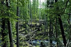 Forest (Inewcom) Tags: trees green oregon forest river moss nikon national fallen willamette d90 challengeyouwinner