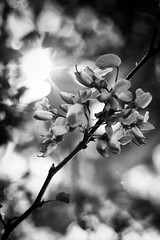 (Almudena vila) Tags: flowers blackandwhite sunlight 50mm 18