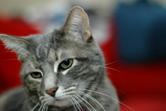 Lemmy (Beer_Powered) Tags: cats grey feline tabby gray kitty evil tabbies felines torbie torbies kittiesfluffyfluffyevil