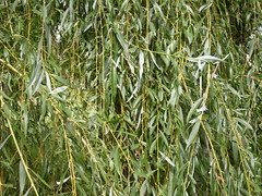 Weeping Willow (John Tann) Tags: weed january australia willow nsw weepingwillow 2009 invasive mudgee salix babylonica salicaceae salixbabylonica taxonomy:family=salicaceae taxonomy:genus=salix geo:country=australia geo:alt=470m taxonomy:binomial=salixbabylonica taxonomy:species=babylonica taxonomy:common=weepingwillow