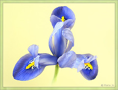 Iris uit een potje #4 (okkibox) Tags: iris flower color fleur blume blueiris 2009 fujifinepix bloem artistimpression okkibox