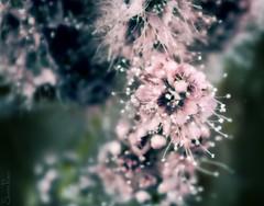 20080908_9999_56b (Fantasyfan.) Tags: macro topv111 closeup tag3 taggedout finland garden topv333 pretty tag2 tag1 bokeh edited oulu magical endofsummer photoshp fantasyfanin siirretty