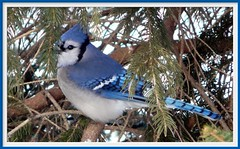 Blue Jay (chippewabear) Tags: blue urban bird birds bluejay birdwatching birdfeeding