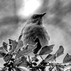. (nosha) Tags: bw bird nature beautiful beauty nikon wildlife january holly f56 pm 2009 lightroom d300 cowbird eseries nosha 75150mmf35 nikond300 noshalikes
