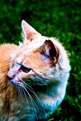 Jinge (Agent Pooky) Tags: beautiful cat ginger jinge